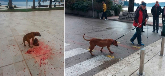 Be careful! Today in Tivat pitbull ripped poodle and