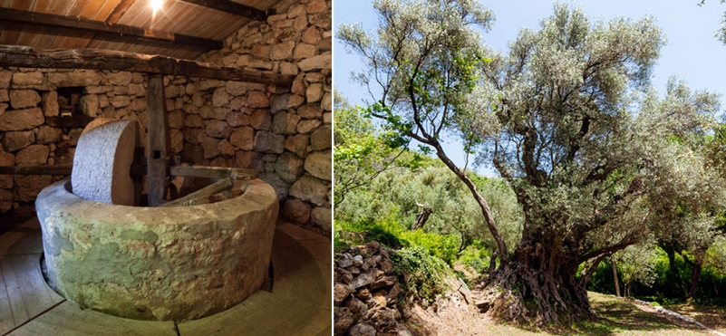 Centuries-old olive tree and old mill.photo